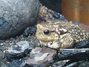 Bufo bufo